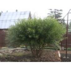 Ива ломкая   Открытый грунт   2 170 0   Salix fragilis