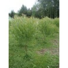 Ива ломкая | Открытый грунт | 2|80|0 | Salix fragilis