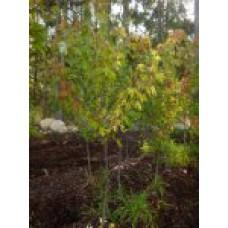 Клен сахаристый   Открытый грунт   2 150 0   Acer saccharinum