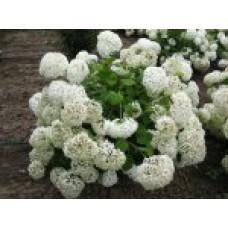 Гортензия  древовидная | Контейнер 20 л | 3|120|0 | Нydrangea arborescens