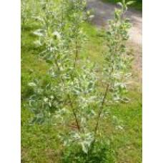 "Дёрен белый ""Elegantissima"" | Открытый грунт | 2|90|0 | Cornus alba ""Elegantissima"""
