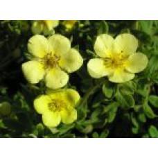 Лапчатка кустарниковая (лимонно-желтая) к|т  `Maanlys` | Контейнер 5,0 л | 2|15|0 | Potentilla fruticosa `Maanlys`