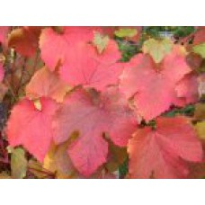 Виноград амурский | Контейнер 13х13 см | 1|10|0 | Vitis amurensis