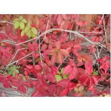 Девичий виноград триострённый | Контейнер 11х11 см | 1|10|0 | Parthenocissus quinquefolia