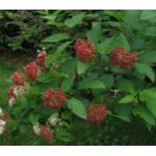 Пузыреплодник калинолистный   Открытый грунт   2 120 0   Physocarpus opulifolius
