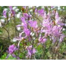 Рододендрон канадский | Контейнер 3,5 л | 2|25|0 | Rhododendron canadense