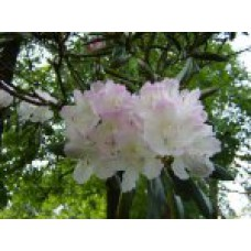 Рододендрон Смирнова  `Ligava` | Открытый грунт | 2|30|0 | Rhododendron smirnowii `Ligava`
