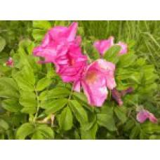 Роза морщинистая | Контейнер 3,5 л | 2|40|0 | Rosa rugosa