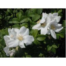 Роза морщинистая `Alba`   Открытый грунт   2 25 0   Rosa rugosa `Alba`