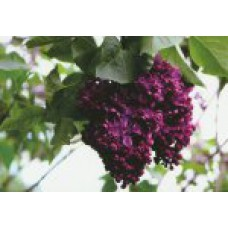 Сирень обыкновенная (сортовая) | Открытый грунт | 2|130|0 | Syringa vulgaris