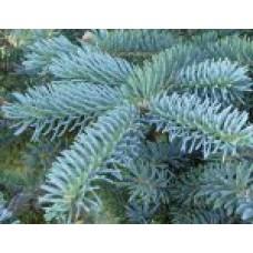 Ель колючая `Glauca' | Открытый грунт | 4|180|80 | Picea pungens `Glauca'