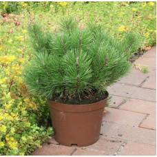 Сосна горная | Контейнер 7,5 л | 2|20|25 | Pinus mugo