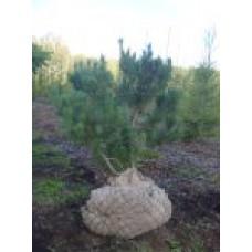 Сосна горная   Открытый грунт   3 180 70   Pinus mugo