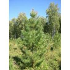 Сосна обыкновенная   Открытый грунт   2 150 60   Pinus silvestris