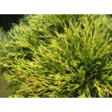 Кипарисовик горохоплодный `Filifera Aurea` | Контейнер 13х13 см | 2|15|15 | Сhamaecyparis pisifera `Boulevard'