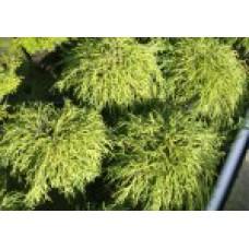 Кипарисовик горохоплодный `Filifera Nana` | Контейнер 13х13 см | 2|15|15 | Сhamaecyparis pisifera `Filifera Nana`
