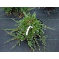 Можжевельник горизонтальный `Prince of Wales` | Контейнер 3,5 л | 2|15|15 | Juniperus horizontalis `Prince of Wales`