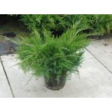 Можжевельник казацкий | Контейнер 1,5 л | 1|10|4 | Juniperus sabina