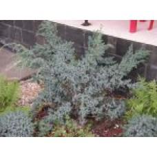 Можжевельник китайский `Blue  Alps'   Контейнер 15 л   2 40 30   Juniperus  сhinensis `Blue Alps'