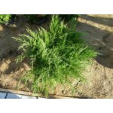 Можжевельник средний `Mint Julep' | Контейнер 7,5 л | 2|30|30 | Juniperus x media `Mint Julep'