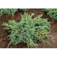 Можжевельник чешуйчатый `Blue Carpet' | Контейнер 7,5 л | 2|30|35 | Juniperus  squamata `Blue Carpet'