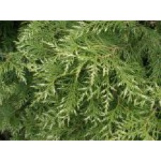 Туя западная  `Variegata` | Контейнер 1,5 л | 2|15|10 | Thuja occidentalis `Variegata`