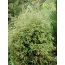 Туя западная `Ericoides' | Контейнер 13х13 см | 1|20|10 | Thuja occidentalis `Ericoides'