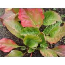 Бадан сердцелистный | Пакет ПВД  7,5л | 30 см | Bergenia cordifolia