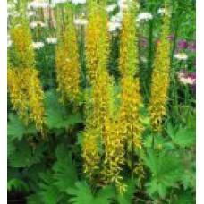 Бузульник Пржевальского | Пакет ПВД  7,5л | 50 см | Ligularia  przewalskii