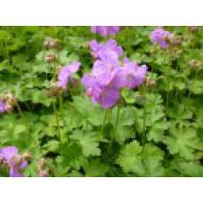 Герань далматская | Пакет ПВД 3,5л | 20 см | Geranium dalmaticum