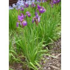 Ирис сибирский (сорта) | Открытый грунт | до 100 см | Iris sibirica