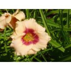 Лилейник гибридный  (сорта) | Открытый грунт | до 70 см | Hemerocallis x hybrida