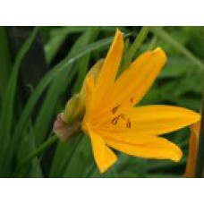 Лилейник Миддендорфа | Открытый грунт | 10 см | Hemerocallis middendorfii