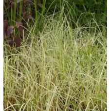 Осока береговая `Variegata` | Открытый грунт | 40 см | Carex reparia` Variegata`