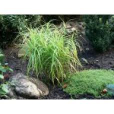 Осока мускингуменская (пальмовидная) | Открытый грунт | 40 см | Carex muskingumensis