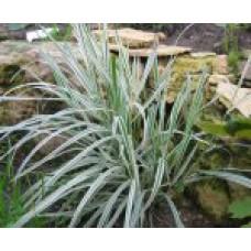 Райграс французский (бульбоносный)   Открытый грунт   20 см   Arrhenatherum elatius bolbosum f.variegatum