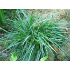 Сеслерия | Открытый грунт | 15 см | Sesleria