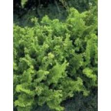 Папоротники (виды и сорта) | Открытый грунт | 10 см | Filicales