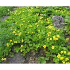 Вальдштейния тройчатая | Открытый грунт | маточник | Waldsteinia ternatа