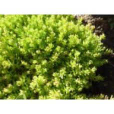 Очитки почвопокровные (виды и сорта) | Открытый грунт | 10 см | Sedum