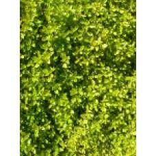 Тимьян лимоннопахнущий `Aureus` | Контейнер 1,5 л | 8 см | Thymus х cуtriodorus