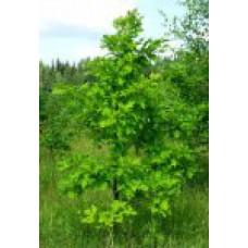 Дуб черешчатый   Открытый грунт   3 180 0   Quercus rubra