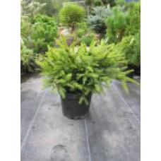 Ель обыкновенная `Nidiformis' | Контейнер 3,5 л | 2|20|25 | Picea abies `Nidiformis'