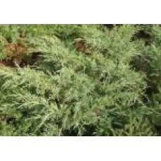 Можжевельник виргинский  `Grey Owl` | Контейнер 3,5 л | 2|15|15 | Juniperus virginiana `Grey Owl`