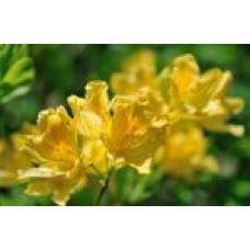 Рододендрон японский `Gold life` | Контейнер 3,5 л | 2|25|0 | Rhododendron  japonicum `Gold life`