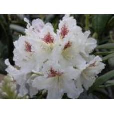 Рододендрон короткоплодный `Tigerstedt` | Контейнер 3,5 л | 2|25|0 | Rhododendron brachycarpum `Tigerstedt`