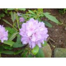 Рододендрон катевбинский | Контейнер 3,5 л | 2|25|0 | Rhododendron  catewbiense