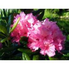 Рододендрон финский `Haaga` | Контейнер 3,5 л | 2|25|0 | Rhododendron  `Haaga` (finnish hyb.)