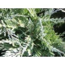 Можжевельник горизонтальный `Blue Chip` | Контейнер 13х13 см | 2|15|15 | Juniperus horizontalis `Blue Chip`
