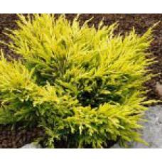 Можжевельник горизонтальный `Lime Glow`   Контейнер 13х13 см   2 15 15   Juniperus horizontalis `Lime Glow`